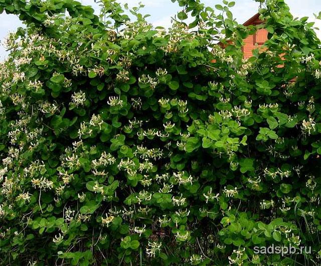 Жимолость каприфоль, Lonicera caprifolium, Саженцы жимолости, Жимолость саженцы