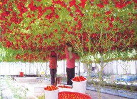 томат спрут, помидорное дерево, выращивание томата Спрут