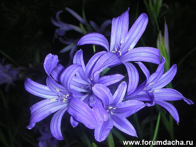 Горная лавандовая лилия, лавандовая лилия