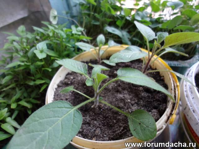 Выращивание пепино в домашних условиях 410