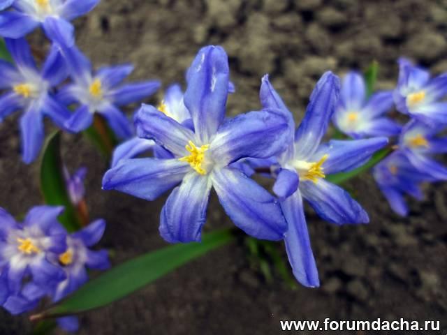 Хионодокса Лусилия, Chionodoxa Luciliae
