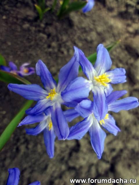 Хионодокса Выращивание, Выращивание Хионодоксы, хионодокса синяя, Chionodoxa Luciliae