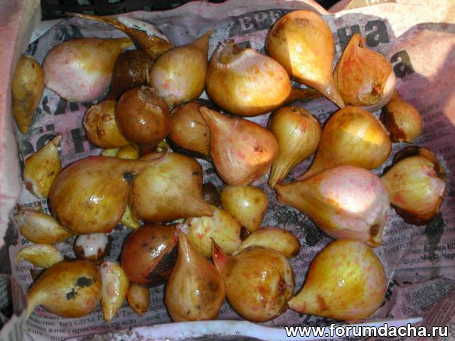 Обработка луковиц