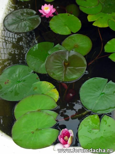Как сажать водяную лилию дома 48