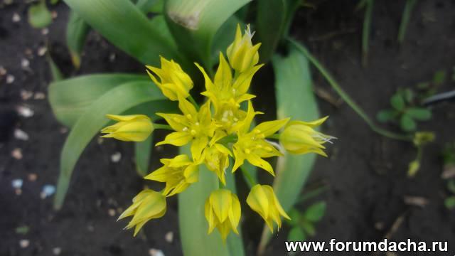 Лук Молли, Allium Molli