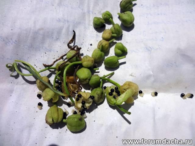 Хионодокса семена,  семена Хионодоксы