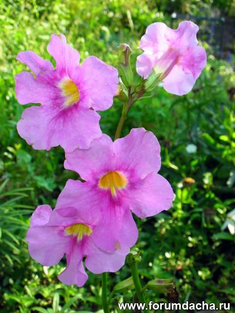 Садовая глоксиния