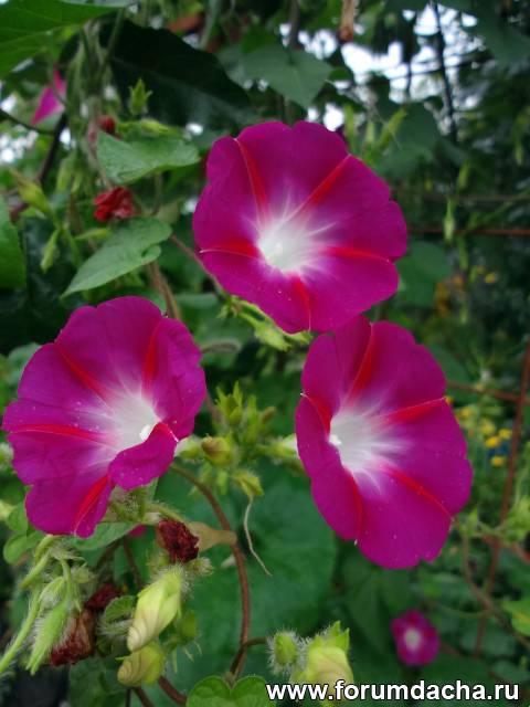 Розовая ипомея, Ипомея розовая