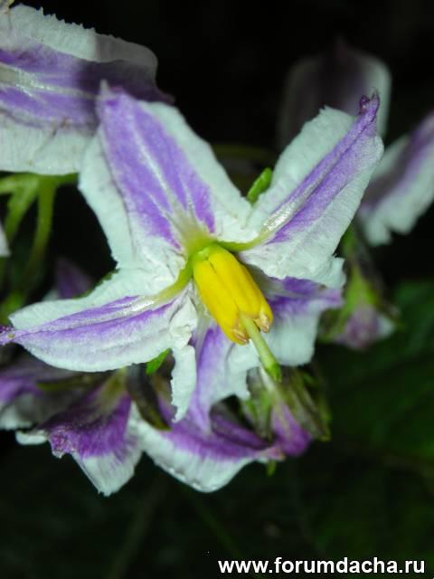 Пепино цветет, Цветение пепино