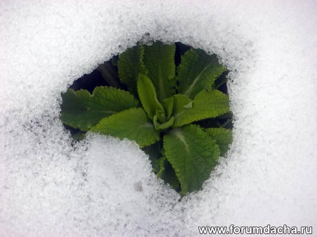 наперстянка  листья