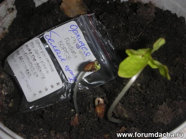 семена орхидеи фото
