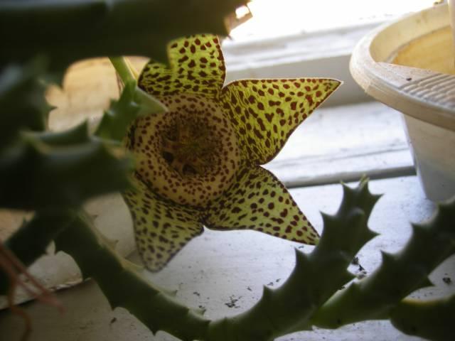 Стапелия пестрая, Стапелия варьирующая, Орбея пестрая, Orbea variegata