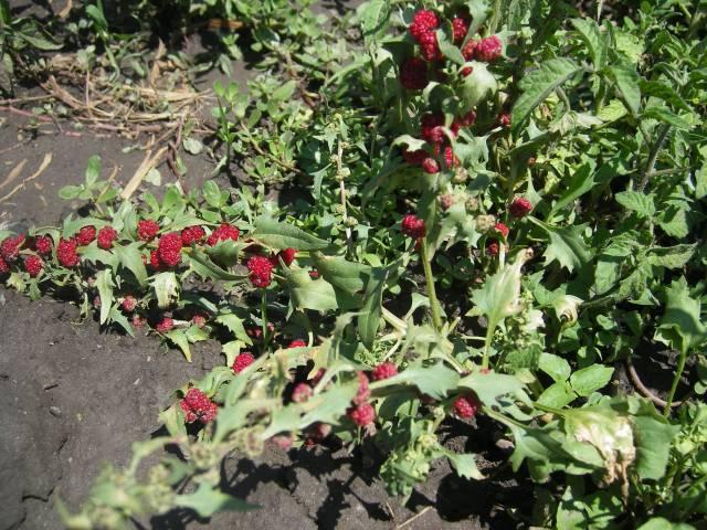 Земляничный шпинат, Земляничный шпинат фото, Земляничный шпинат в картинках, Земляничный шпинат выращивание