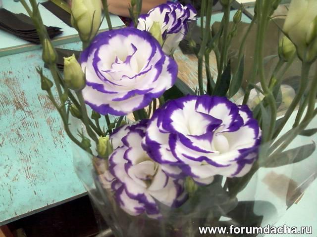 Цветы похожие на розы эустома фото