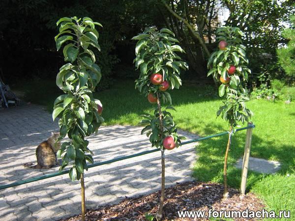 Кто сажал колоновидные яблони 103