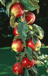 http://www.forumdacha.ru/forum/userpix/387__scarlet_sentinel__columnar_apple_1.jpg