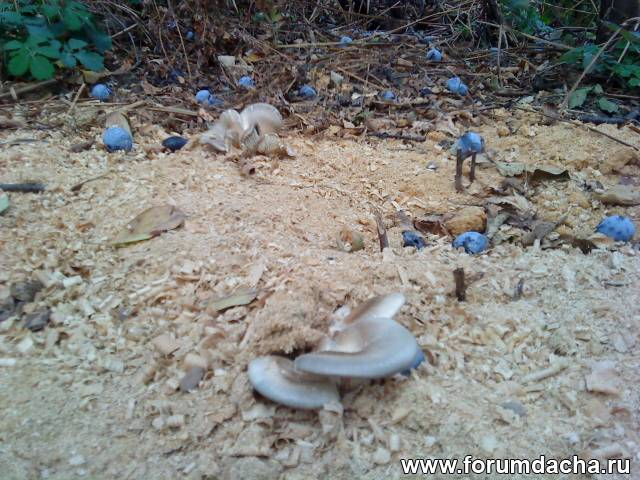 Выращивание грибов на дачном участке
