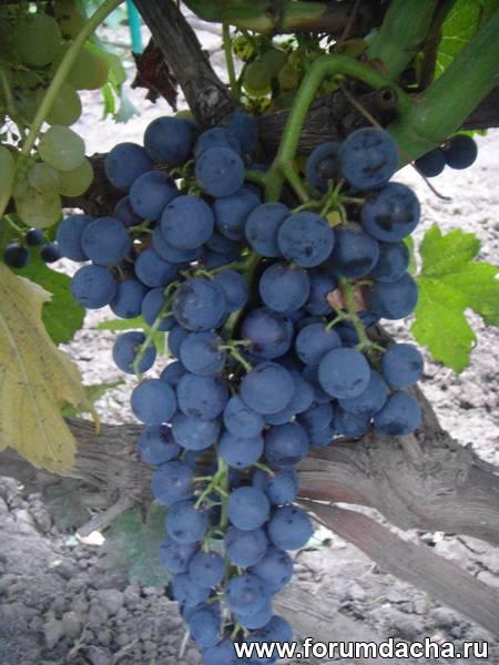 Неукрывные сорта винограда, Сорт винограда Гленора, Гленора