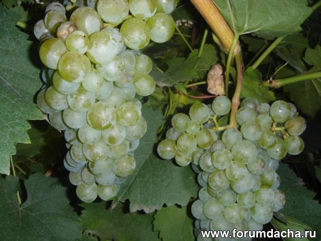 Сорт винограда Реформ, Реформ