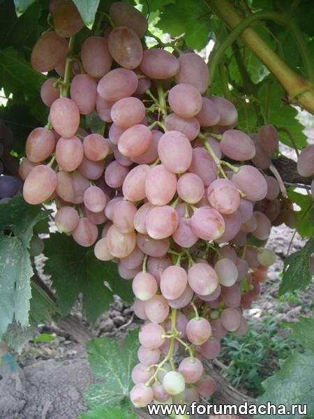 кишмишные сорта винограда, Кишмиш Лучистый, Кишмиш сорт, Сорта кишмиша