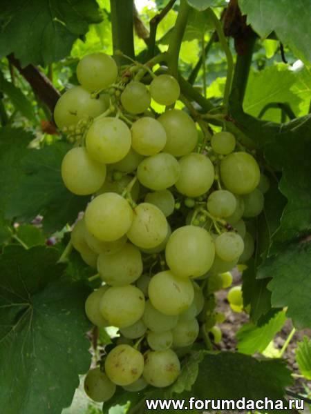 сверхранние сорта винограда, Сорт винограда Олимпиадане, Олимпиадане