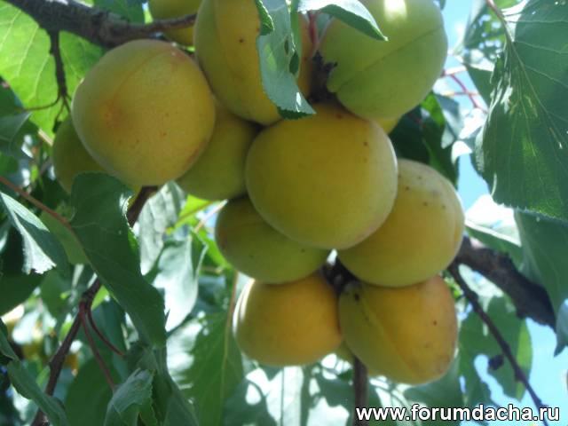 Выращивание абрикосов в средней полос 158