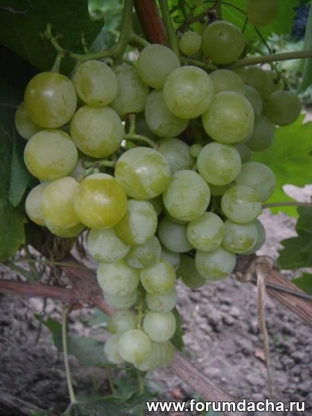 Мускатные сорта винограда, Сорта мускатного винограда, Сорт винограда Галбена Ноу, Галбена Ноу, Виноград Галбена Ноу