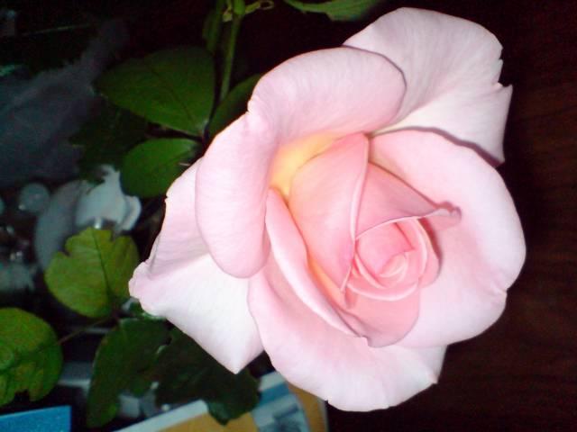 роза, розы, фото розы, розы фото, розы в картинках
