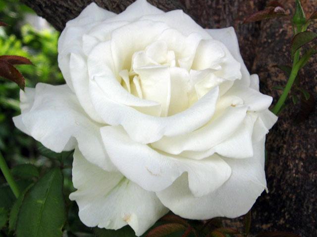 Роза белая, Роза белая фото, Роза белая в картинках
