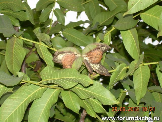 Грецкий орех выращивание в Подмосковье
