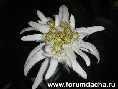 Эдельвейс, Эдельвейс выращивание, Выращивание Эдельвейса, Как вырастить эдельвейс, Эдельвейс в саду