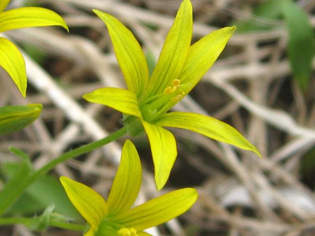 Гусиный лук, Гагея желтая, Gagea lutea