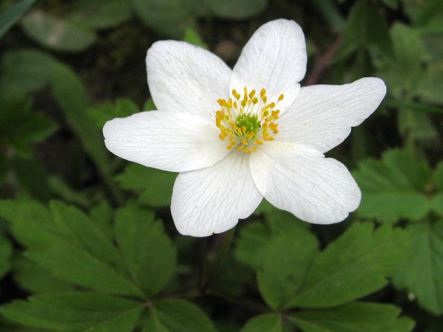 Ветреница дубравная, Anemone nemorosa