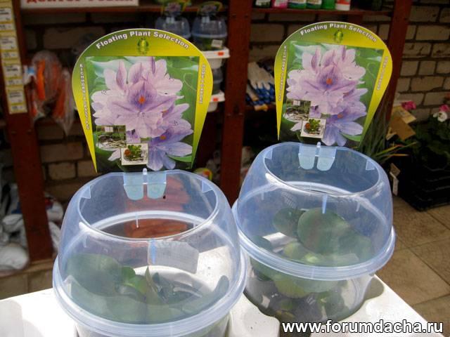 Семена водного гиацинта