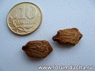 Семена момордики, Момордика семена, Купить семена момордики