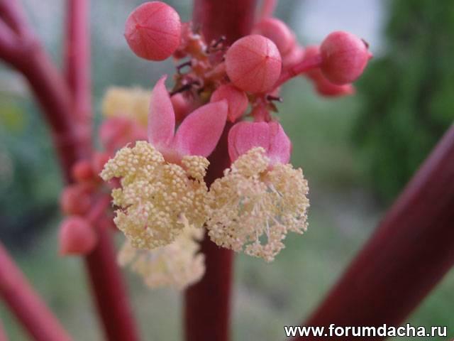 Цветок клещевины
