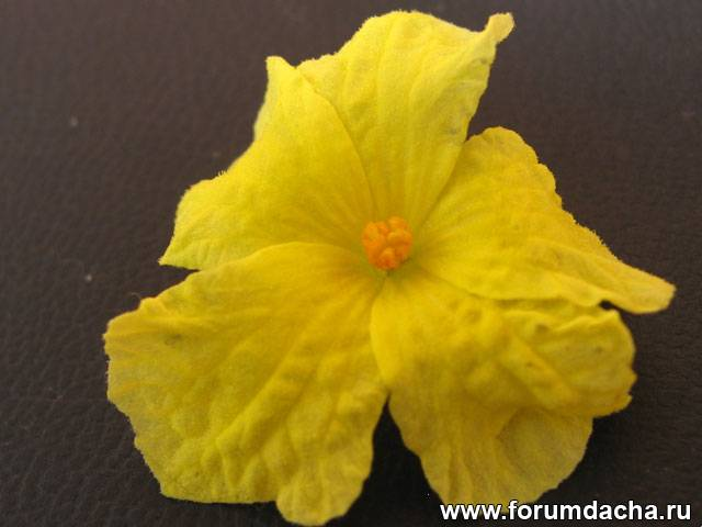 Момордика цветет, Цветки момордика, Цветение момордики