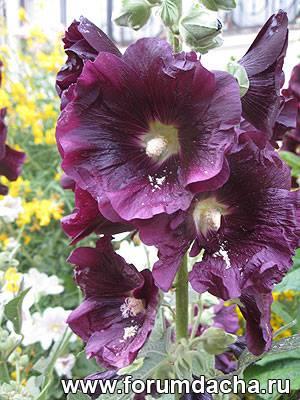 Мальва садовая, Мальва садовая выращивание, Шток-роза, Шток-роза выращивание
