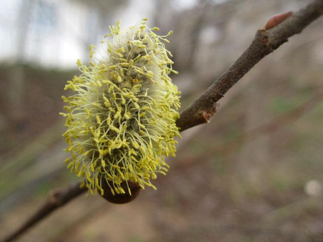 Весна, распускаются почки