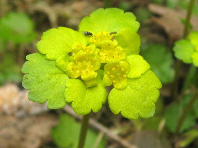 Селезеночник Очереднолистный, Chrysosplenium alternifolium
