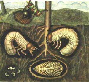 личинки майского жука, борьба с майским жуком, борьба с личинками майского жука