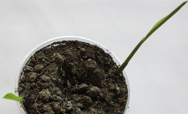 выращивание имбиря, вырастить имбирь