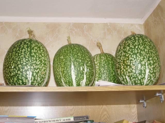 Кавбуз, гибрид арбуза и тыквы