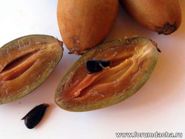 Саподилла, сапотовое дерево, Manilkara achras, Manilkara zapota, Achras zapota, Lamut