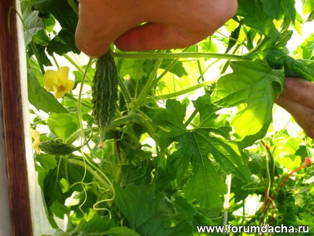 Плоды момордики, Вырастить момордику