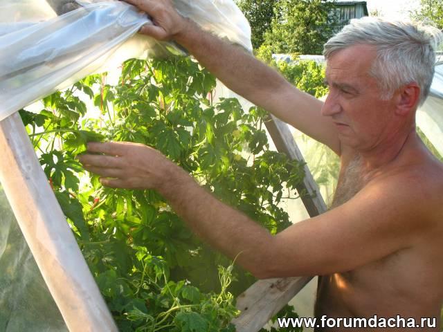 Выращиваем момордику