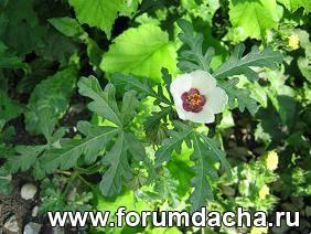 Гибискус тройчатый, Гибискус северный, Hibiscus trionum