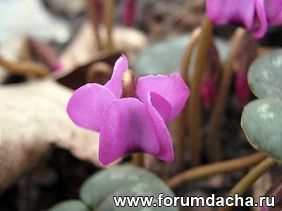цикломен лесной. первые цветы