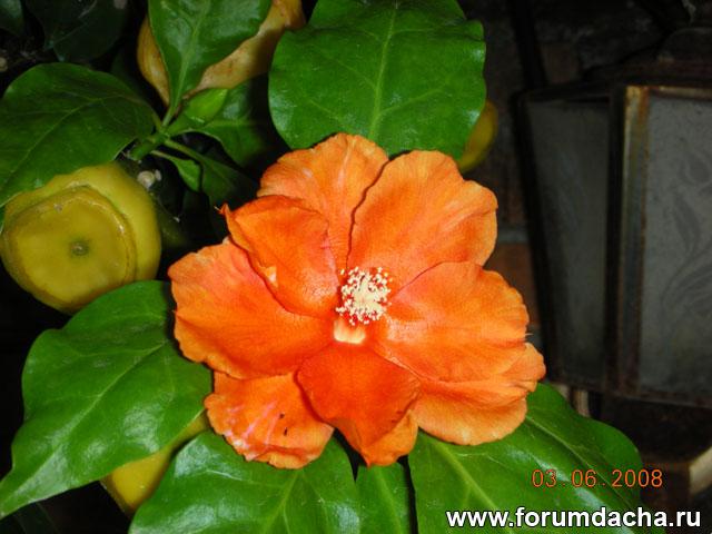 Переския, Восковая роза, Pereskia corrugata, Pereskia Rose Cactus, Pereskia bleo