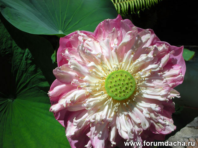 Лотос, цветок лотоса, Nelumbo